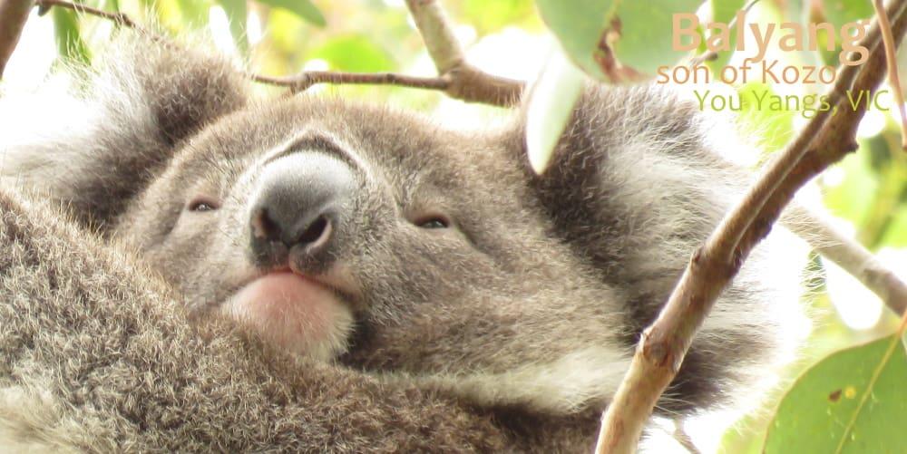 young male koala face