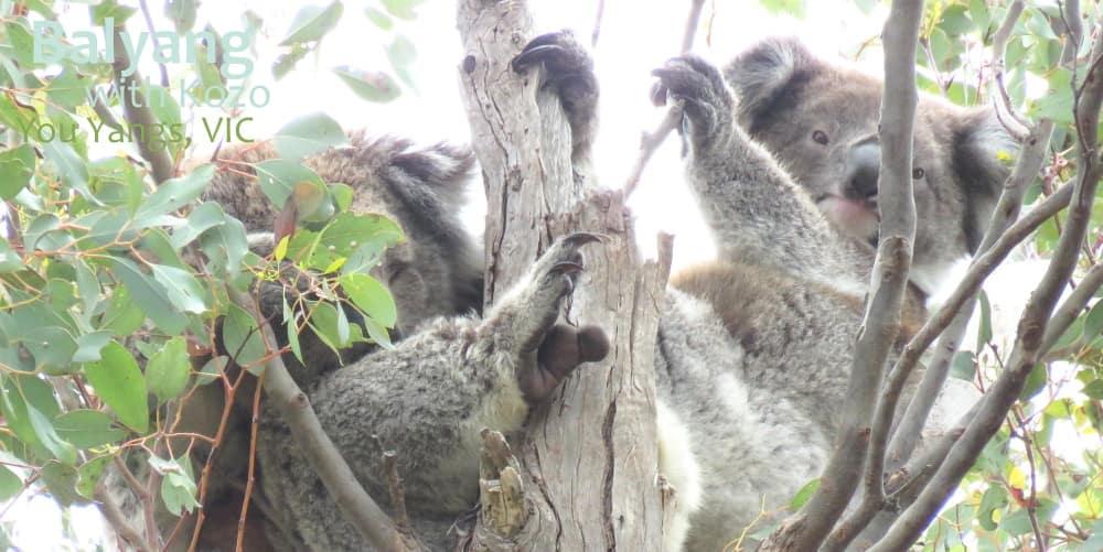 koala mother joey 2020