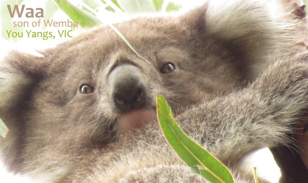 cute koala joey