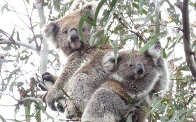 About Koala Waa