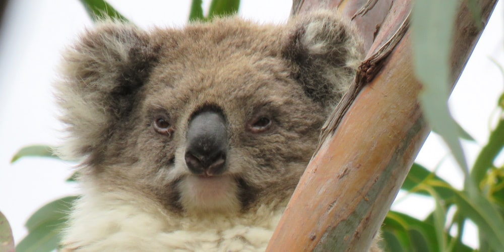 mature female koala Mear in 2020