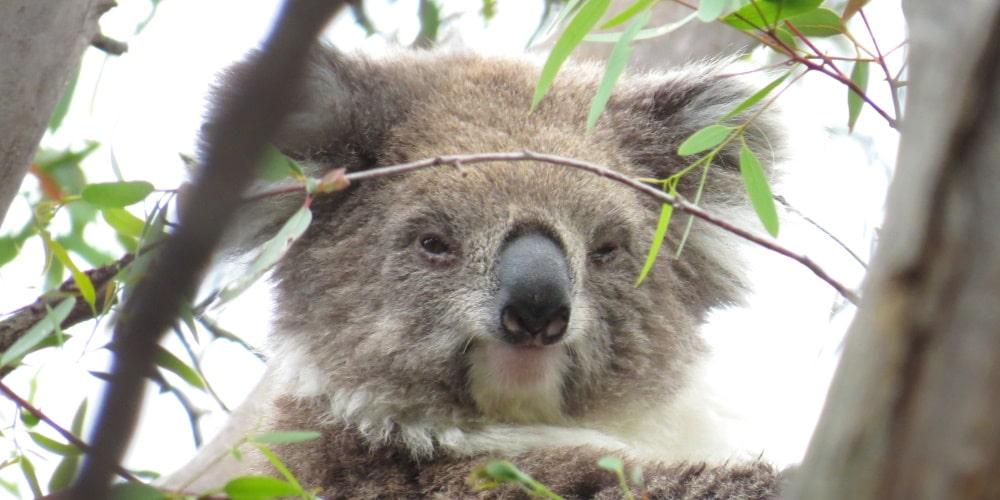 About Koala Mear