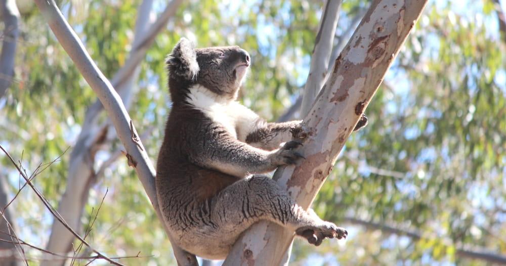 koala looking up side view
