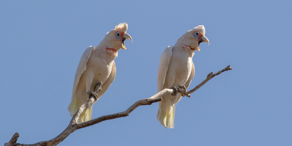 Cockatoos of the Grampians (Gariwerd)