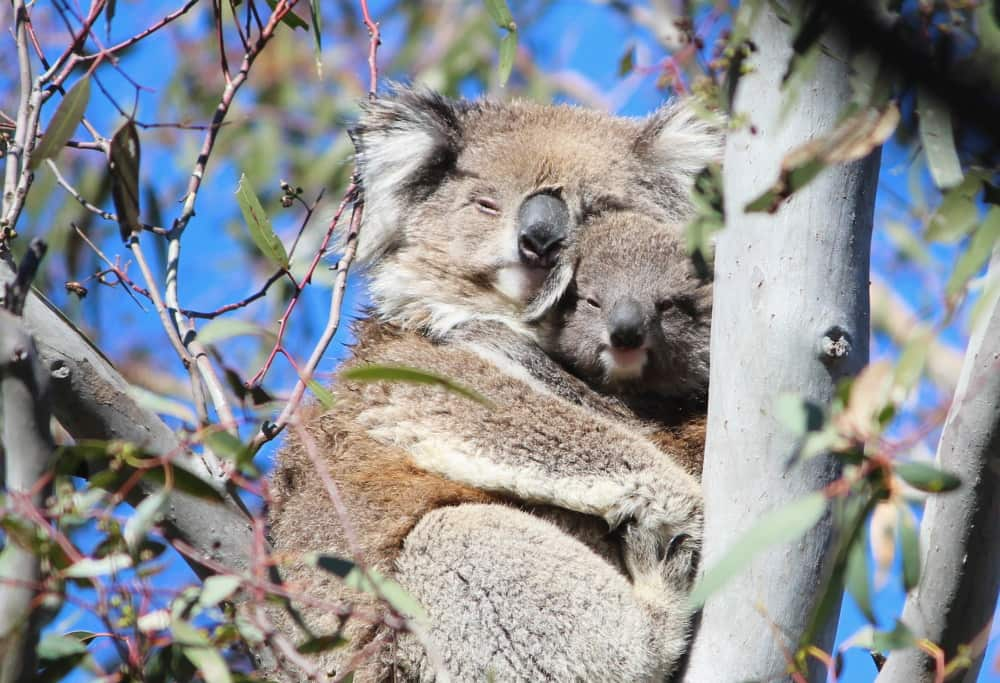 mother koala with joey cuddling