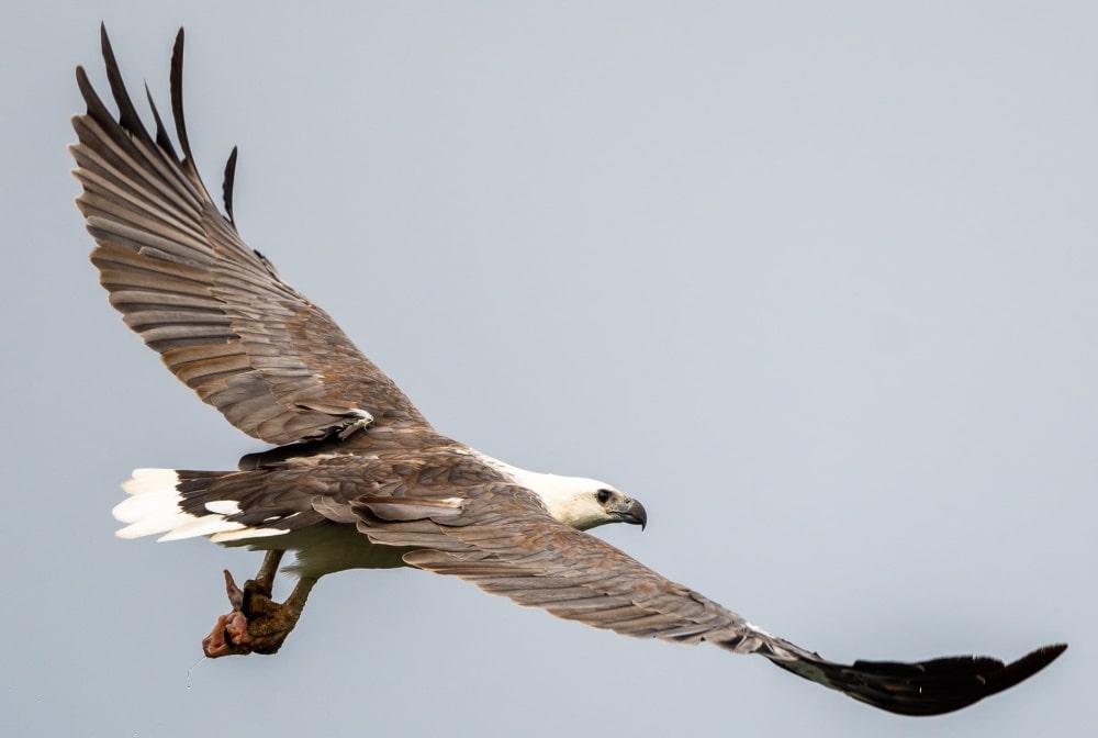 White bellied Sea Eagle Rob Clay Mallacoota
