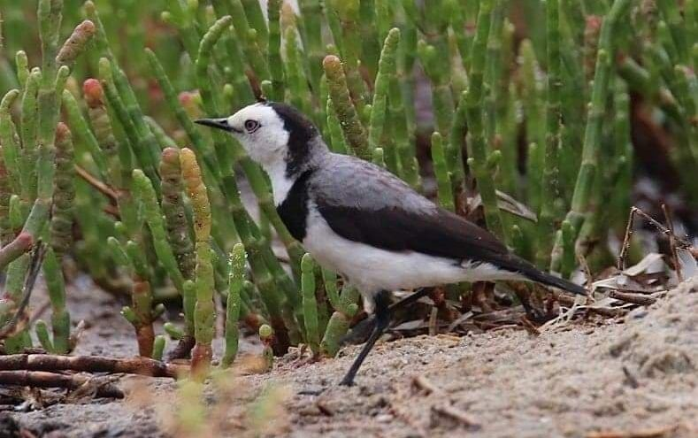 White-fronted Chat by Rob Bilson Mallacoota