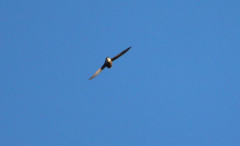 White-throated Needletail mallacoota birds weekend