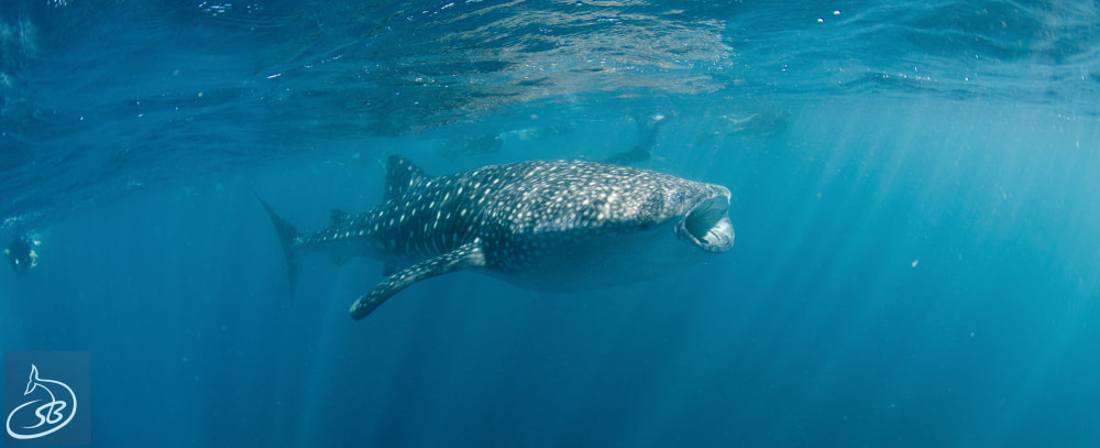 whale shark facts new
