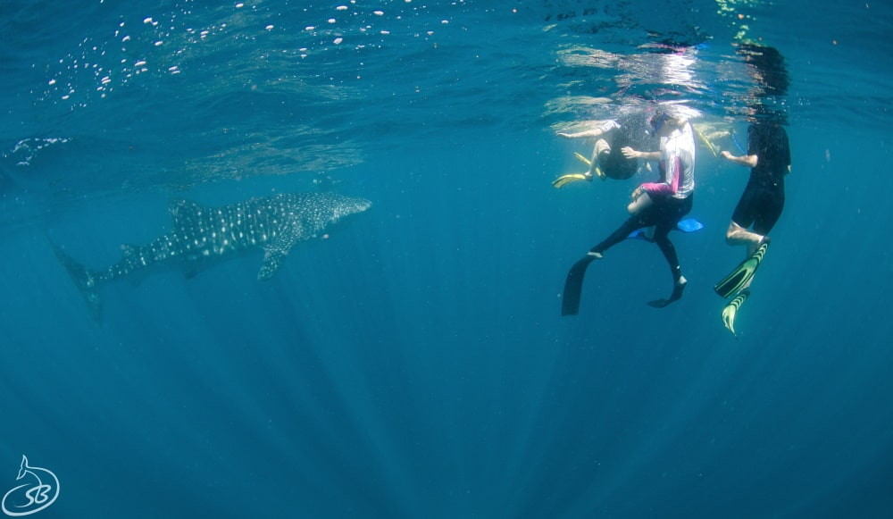 Tourism Helps Western Australia's Whale Sharks