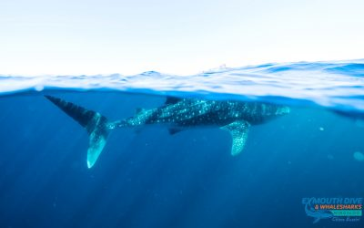 Amazing new facts about Whale Sharks