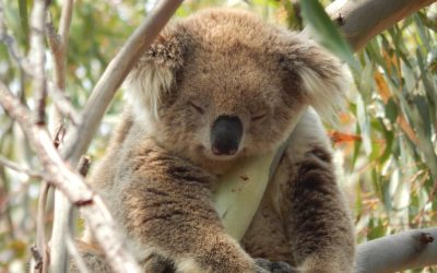 About Koala Babarrang