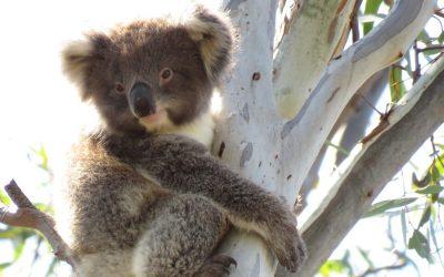 About Koala Kallama