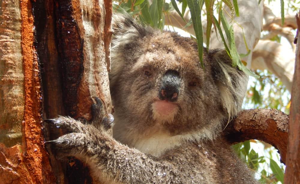 female koala Lakorra