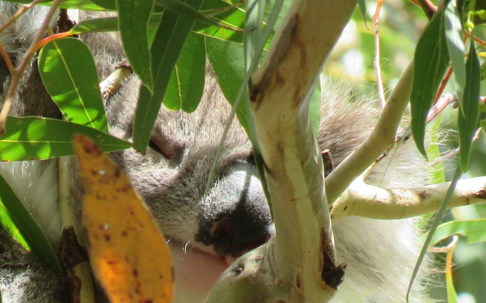 14 month old koala