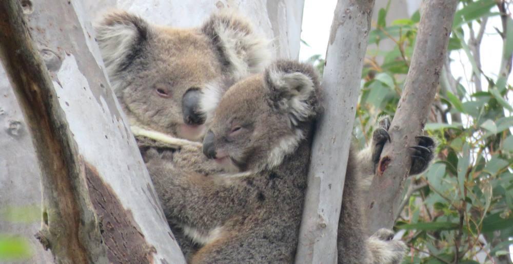 Kallama joey koala with mother