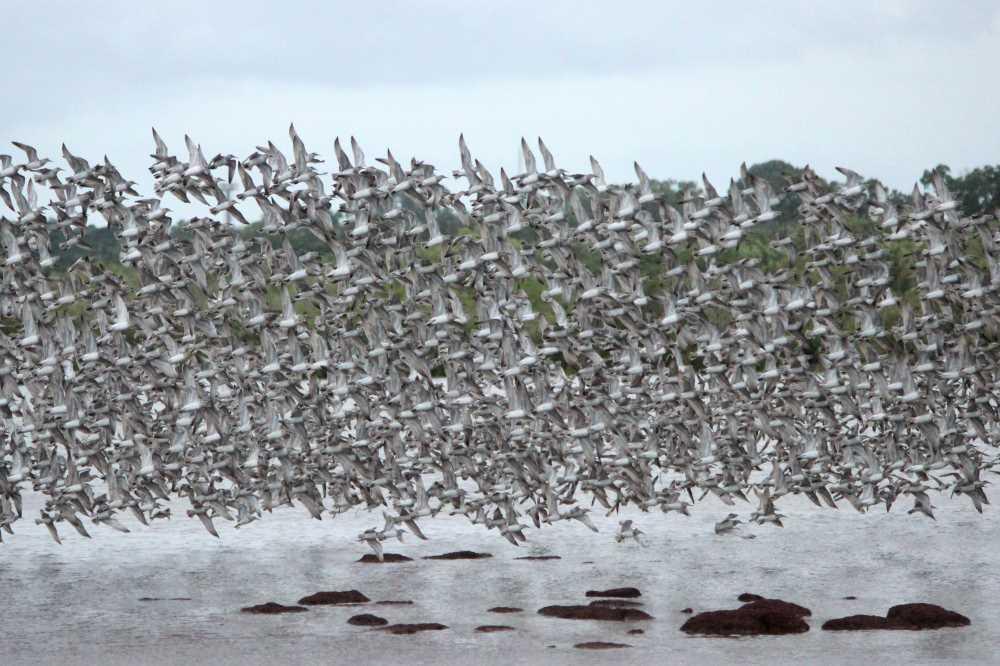 shorebirds flying darwin